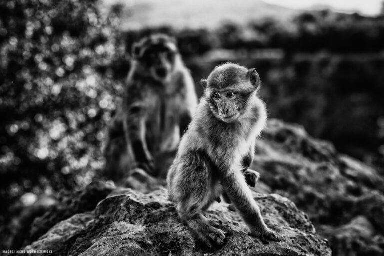 Makak berberyjski